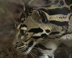 [natura] Il Leopardo Nebuloso