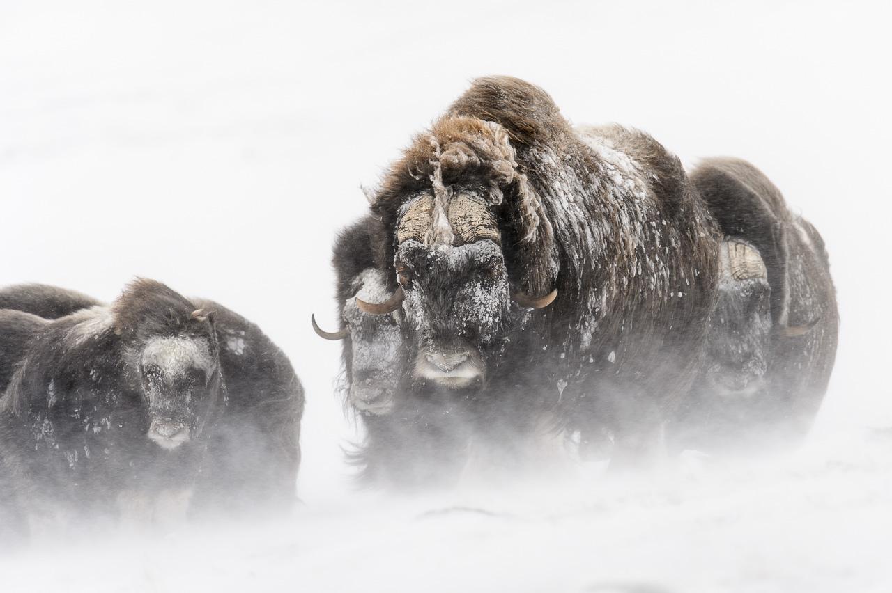 [natura] Musk Ox - Una reliquia dell'era glaciale