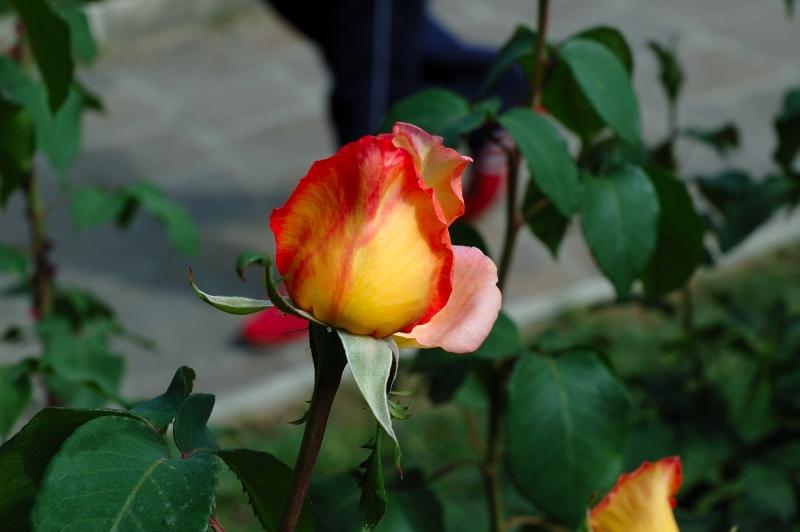 Rosa bicolore bocciolo