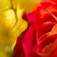 Rosa e mimosa
