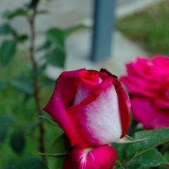 Bocciolo di rosa rossa