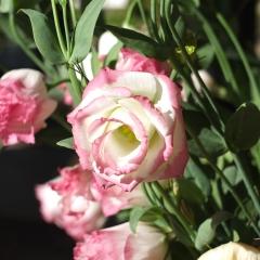 cespuglio di rose bianche