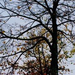 si sta come d'autunno, sugli alberi, le foglie