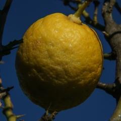 Limone in gabbia - 10022017 Max Aquila photo (C)