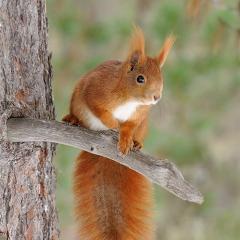 scoiattolorosso1b