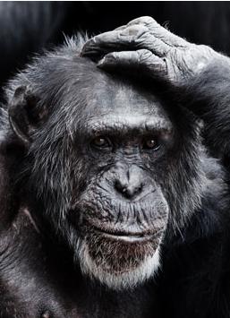 Immagine Allegata: oldchimpanzeeav.jpg