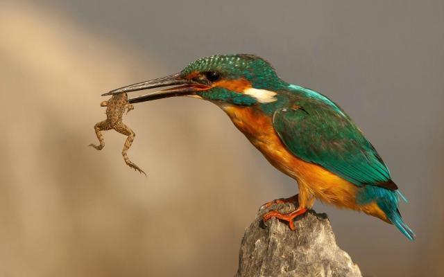 Eating-frog.jpg