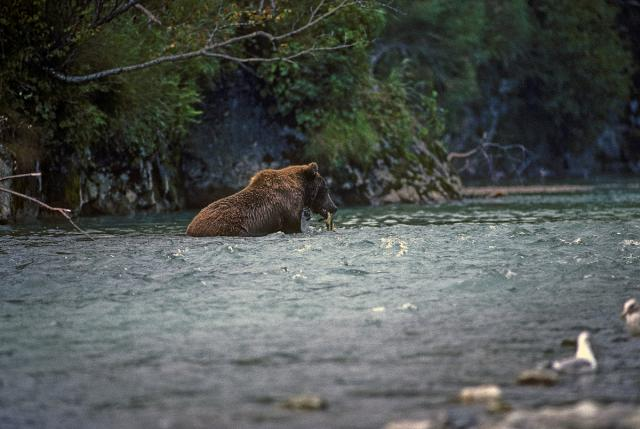 Immagine Allegata: Bear fishing.jpg