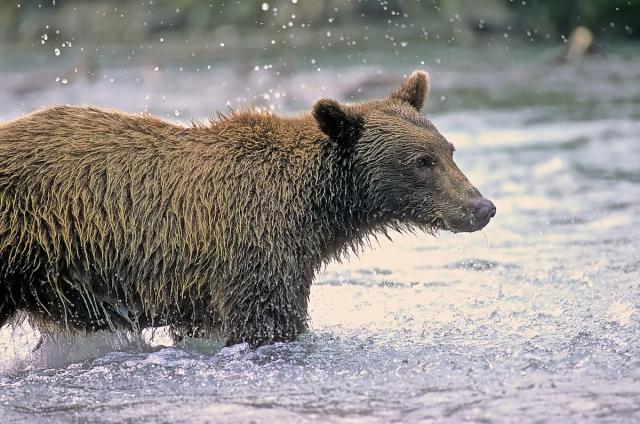 Immagine Allegata: Grizzly 3 (1).jpg