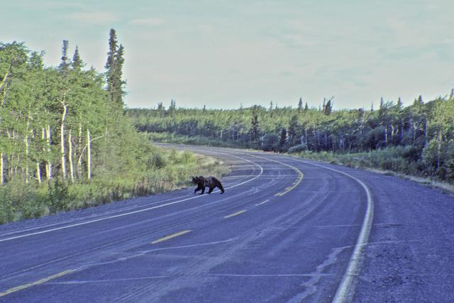 Immagine Allegata: Bear on the road (1).jpg