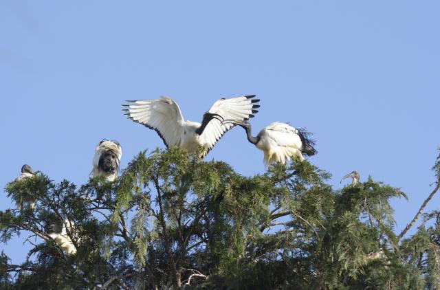 Immagine Allegata: ibis1.jpg