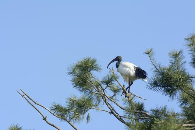 Immagine Allegata: ibis2.jpg