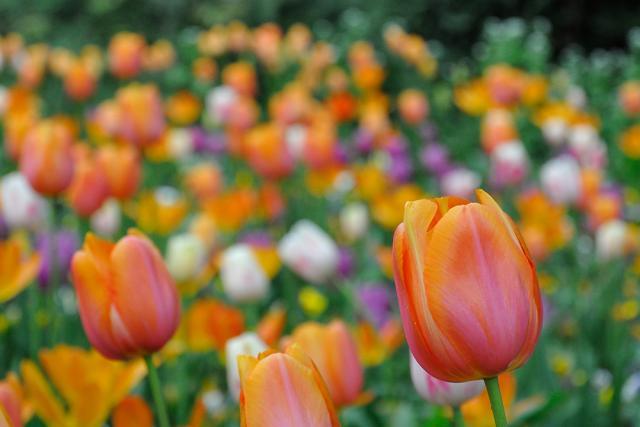Immagine Allegata: tulip.jpg