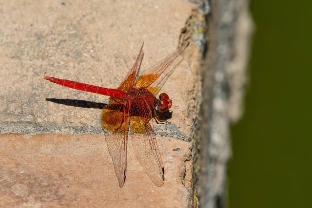 Immagine Allegata: Trithemis kirbyi maschio web.jpg