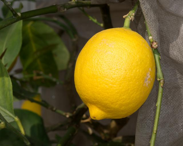 Immagine Allegata: lemon.jpg