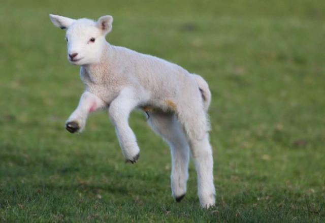 lamb-12.jpg