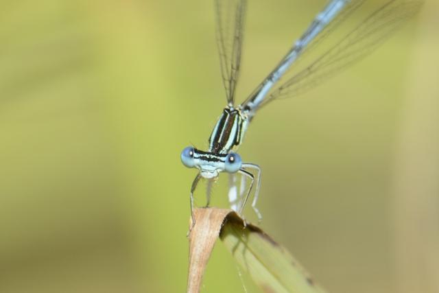 Immagine Allegata: crop libellula.JPG