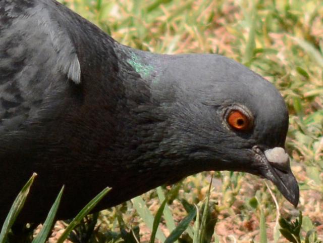 Immagine Allegata: pigeon1cr.jpg