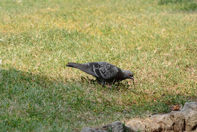 Immagine Allegata: pigeon1we.jpg