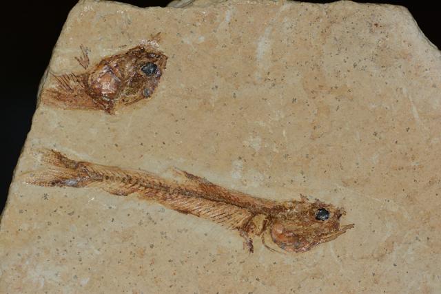 Immagine Allegata: fossil.jpg