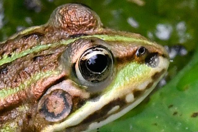 Immagine Allegata: frog1crop.jpg