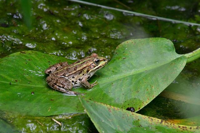 Immagine Allegata: frog1.jpg