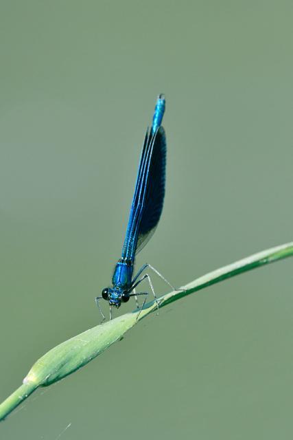 Immagine Allegata: calopteryxD5001jpg.jpg