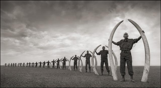 Immagine Allegata: Rangers Holding Tusks of Killed Elephants 18inW.jpg