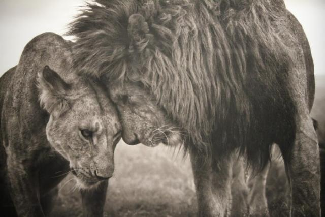 Immagine Allegata: Nick-Brandt-Wildlife-Photographer-Male-and-Female-Lionjpg-700x466.jpg