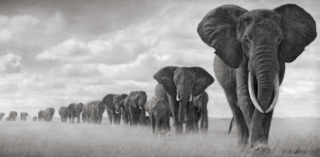 Immagine Allegata: nick-brandt_across-the-ravaged-land_elephants.jpg