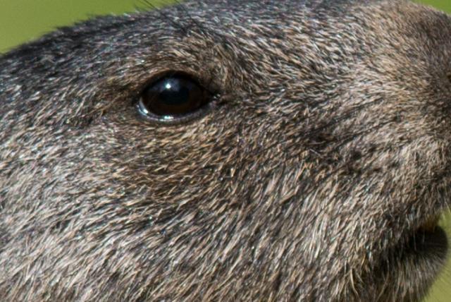 Immagine Allegata: marmottaheadcup.jpg