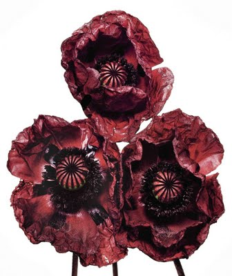 Immagine Allegata: three poppies a irving penn.jpg