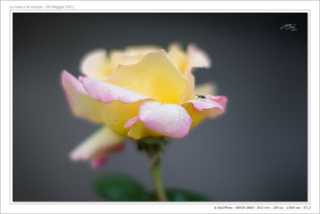 Immagine Allegata: rosagialla-1nkc.jpg