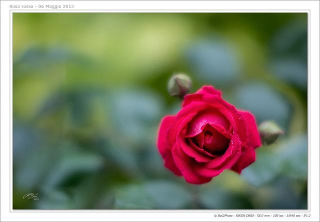 Immagine Allegata: rosarossa-1nkc.jpg