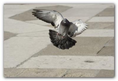 Immagine Allegata: piccione_b001.jpg