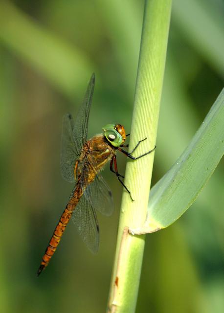 Immagine Allegata: dragonfly7w.jpg