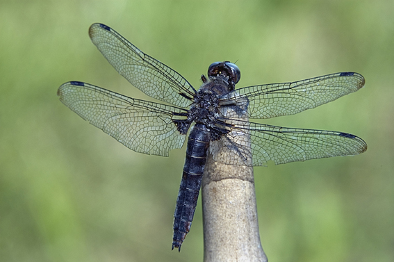 Immagine Allegata: dragonfly.jpg