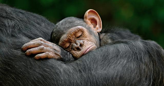 651-scimpanze.jpg
