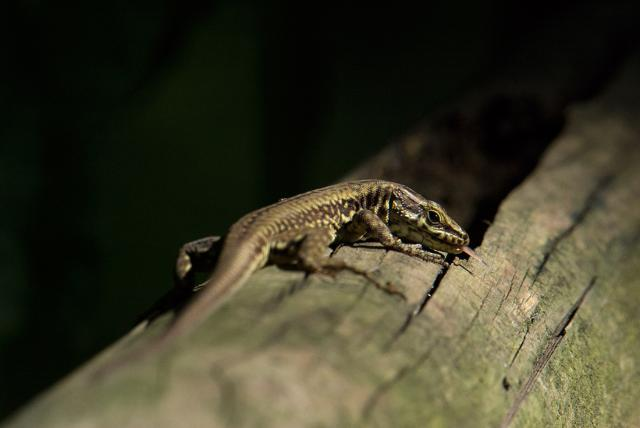 lizardtongue.jpg